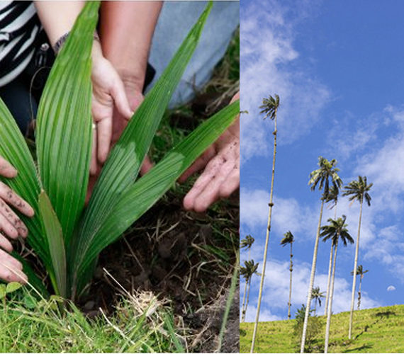 Planting Wax Palm Trees
